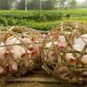 Hậu dịch tả lợn Châu Phi và món thịt kho ngày Tết ở Việt Nam